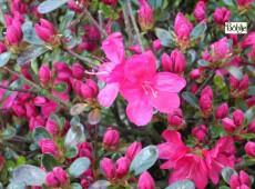 Rhododendron obtusum 'Rubinetta'