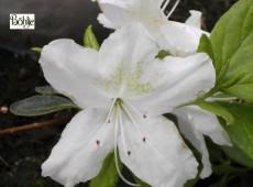Rhododendron obtusum 'Schneeglanz'