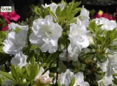 Rhododendron obtusum 'Schneeperle' (R)