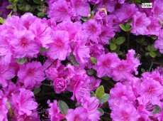 Rhododendron obtusum 'Schrammstein'