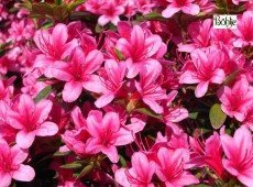 Rhododendron obtusum 'Silvester'
