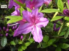 Rhododendron obtusum 'Sorpe'