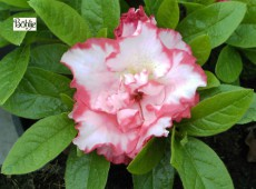 Rhododendron obtusum 'Spot of Easter Parade'