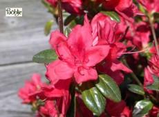 Rhododendron obtusum 'Stewartstonian'