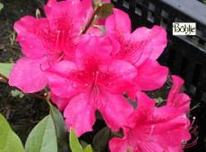 Rhododendron obtusum 'Stopplicht'