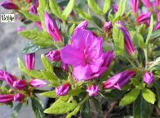 Rhododendron obtusum 'Uelfe'