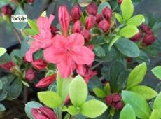 Rhododendron obtusum 'Weesenstein'