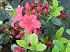 Rhododendron obtusum 'Wesenstein'