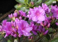 Rhododendron obtusum 'Wildenstein'