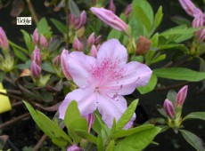 Rhododendron obtusum 'Wipper'