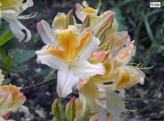 Rhododendron occidentale 'Magnifica'