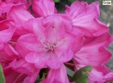 Rhododendron orbiculare 'Monika '