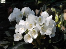 Rhododendron pachysanthum 'Silbervelours'