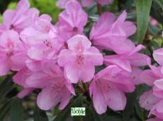 Rhododendron Hybride 'Graziella'