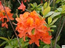 Rhododendron prinophyllum 'Mandarin Lights'