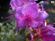 Rhododendron prostratum