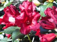Rhododendron repens 'Baden Baden'