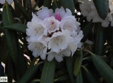 Rhododendron rex 'Rexima'