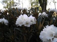 Rhododendron roxieanum var. oreonastes