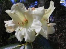 Rhododendron rupicola 'Cream Crest'