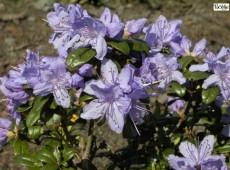 Rhododendron russatum 'Azurwolke'