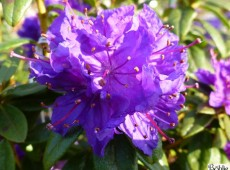 Rhododendron russatum 'Enziana'