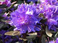 Rhododendron russatum 'Usambara'