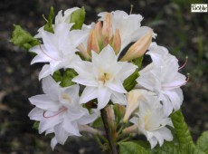 Rhododendron rustica 'Appeles'