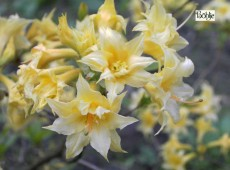Rhododendron rustica 'Chromatella'