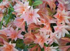Rhododendron rustica 'Freya'