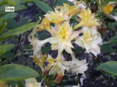 Rhododendron rustica 'Hora'
