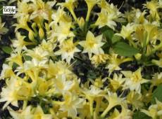 Rhododendron rustica 'Leibnitz'