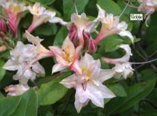 Rhododendron rustica 'Maja'