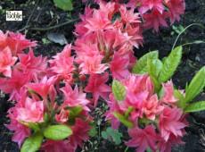Rhododendron rustica 'Murillo'