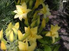 Rhododendron rustica 'Narcissiflora'