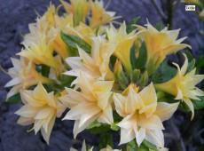 Rhododendron rustica 'Phebe'