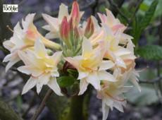 Rhododendron rustica 'Phidias'