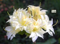 Rhododendron rustica 'Praxiteles'