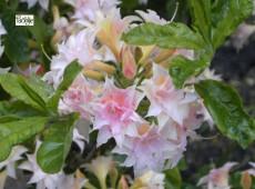 Rhododendron rustica 'Raphael de Smet'