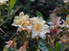 Rhododendron rustica 'Teniers'