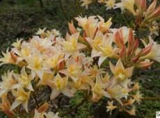 Rhododendron rustica 'Velasques'