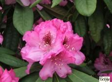 Rhododendron smirnowii 'Göteborg'