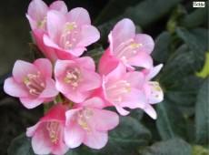 Rhododendron spinuliferum 'Razorbill'