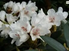 Rhododendron taliense 'Honigduft'