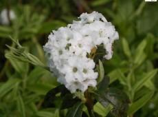 Rhododendron trichostomum 'Artic Tern'