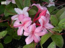 Rhododendron viscosum 'Lollipop'