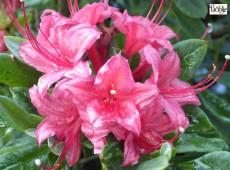 Rhododendron viscosum 'Millennium'