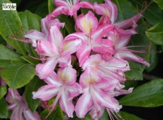 Rhododendron viscosum 'Ribbon Candy'