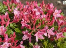 Rhododendron viscosum 'Rosata'