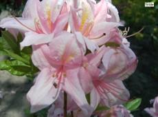 Rhododendron viscosum 'Soir de Paris'